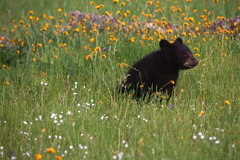 Baby bear and spring wildflowers mightylinksfo Image collections