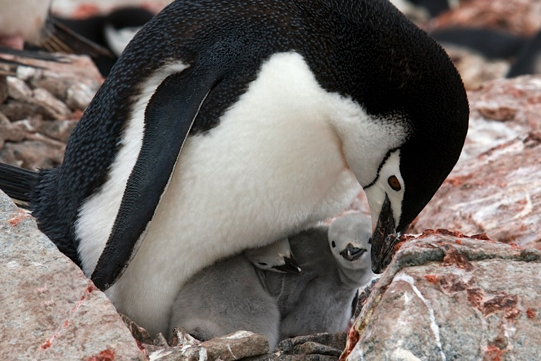 Penguin Bird Nest