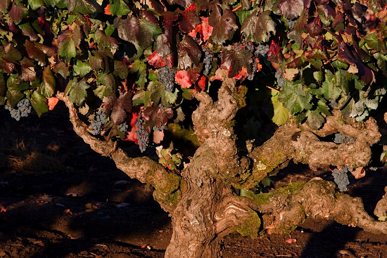 old growth grapevines