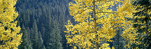 Aspens-and-Pines.jpg