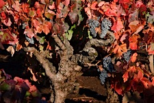 Autumn-Grapevine-Bounty.jpg