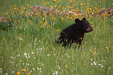 Baby-Bear-and-Spring-Wildflowers.jpg