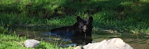 Bear-Swimming-Hole.jpg