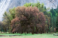 Black-Oak-in-the-Valley.jpg