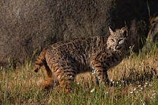 Bobcat-Lunch.jpg