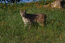 Bobcat-Meadow.jpg