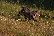 Bobcat-in-Motion.jpg