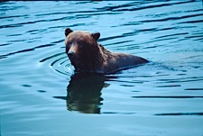 Brown-Bear-Swimming-Hole.jpg
