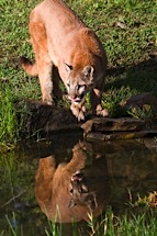Cougar-Watering-Hole.jpg