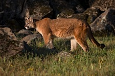Cougar-on-the-Prowl.jpg