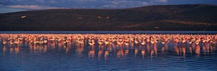 Dance-of-the-Flamingos.jpg