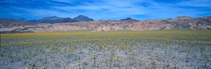 Death-Valley-Wildflowers.jpg