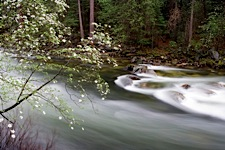 Dogwood-River-Bloom.jpg