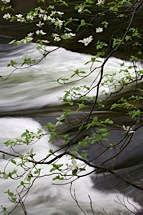 Dogwoods-and-River.jpg