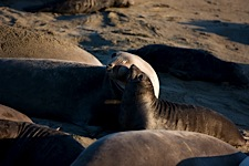 Elephant-Seal-Touch.jpg