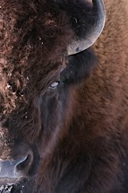 Eye-of-the-Bison.jpg