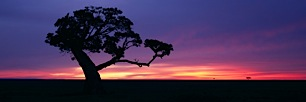 Fig-Tree-Sunrise.jpg