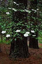 Floating-Dogwoods.jpg