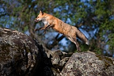 Fox-in-Motion.jpg