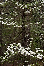 Graceful-Dogwood.jpg