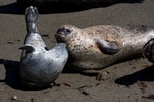 Harbor-Seal-Kiss.jpg