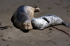 Harbor-Seal-Lean-on-Me.jpg
