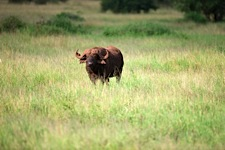 Land-of-the-African-Buffalo.jpg
