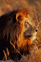 Lion-King--Right-Profile.jpg