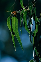 Monarch-and-Eucalyptus.jpg