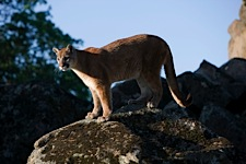 Mountain-Lion-Perch.jpg