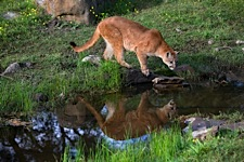 Mountain-Lion-Reflection.jpg