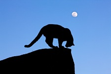 Mountain-Lion-by-Moonlight.jpg
