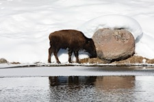 New-Life-in-Yellowstone.jpg