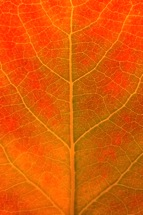 Orange-Aspen-Leaf-Detail.jpg