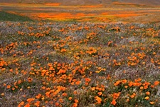 Poppy-Fields.jpg