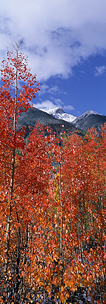 Red-Aspen-and-Blue-Skies.jpg