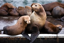 Sea-Lion-Mom-and-Young.jpg