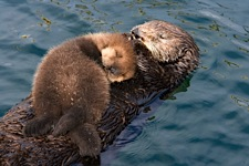Sea-Otter-and-Pup.jpg