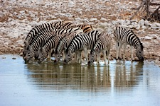 Zebra-Watering-Hole.jpg